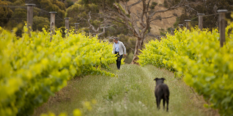 Jacques Lurton inspecting the vines in The Islander Estate Vineyard